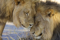 Two Lions rubbing each other, Kgalagadi Transfrontier Park, ... by Danita Delimont