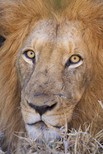 A portrait of a Lion, Kapama Private Game Reserve, Hoedsprui... von Danita Delimont