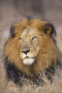 A portrait of a Lion looking into the distance, Kapama Priva... von Danita Delimont