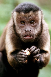 Close-up of a black-capped capuchin monkey at the Bush Babie... von Danita Delimont