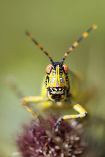 A close-up of an Elegant Grasshopper, uMkhunyane, Mpumalanga... by Danita Delimont