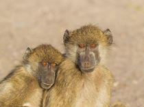 Chacma Baboon two subadults in the early morning, Chobe Nati... by Danita Delimont