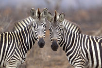 Plain Zebras, Kruger National Park, South Africa von Danita Delimont