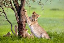 African Lions, in rainy season, Kgalagadi Transfrontier Park... von Danita Delimont
