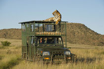 Bengal Tiger searching for prey from top of vehicle by Danita Delimont