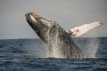 Humpback Whale by Danita Delimont