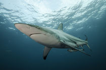 Oceanic Black-tip shark & Remora by Danita Delimont