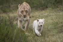White lion by Danita Delimont