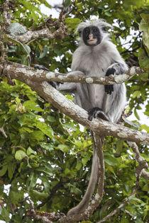 Africa, Tanzania, Zanzibar, Jozani Chakwa Bay National Park von Danita Delimont