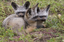 Bat-eared foxes, Serengeti National Park, Tanzania. by Danita Delimont