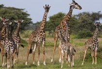 Maasai giraffe, Serengeti National Park, Tanzania. by Danita Delimont
