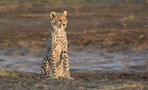 Africa, Tanzania, Serengeti von Danita Delimont