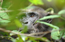 Wild chimpanzee looking through the vegetation von Danita Delimont