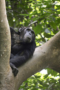 View of Chimpanzee in tree, Mahale Mountains National Park, Tanzania by Danita Delimont