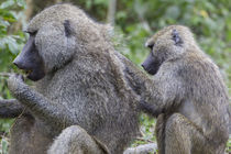 Sitting Juvenile Yellow baboon grooms the back of an adult, ... von Danita Delimont