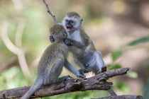 Two juvenile vervet monkey balance on a log fighting, Lake M... by Danita Delimont