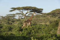 Landscape of erect adult Masai giraffe walks through green s... by Danita Delimont