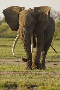 Africa, Tanzania, Ngorongoro Conservation Area, Serengeti Na... by Danita Delimont