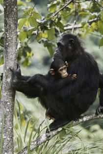 Tanzania, Chimpanzee family resting at Gombe Stream National Park. von Danita Delimont