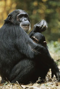Tanzania, Chimpanzee female animal and son sitting at Gombe ... by Danita Delimont