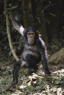 Tanzania, Chimpanzee Young Female at Gombe Stream National Park. von Danita Delimont