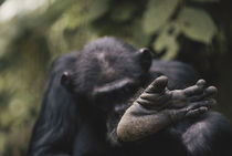 Tanzania, Gombe Stream National Park, Chimpanzee foot, close-up. von Danita Delimont