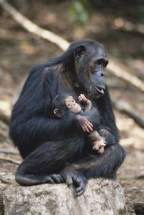 Tanzania, Gombe Stream National Park, Chimpanzees sitting on rock. von Danita Delimont