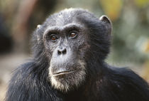 Tanzania, Gombe Stream National Park, Close-up of male Chimpanzee. von Danita Delimont