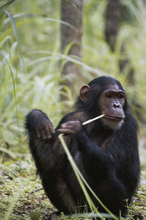 Tanzania, Gombe Stream National Park, Female chimpanzee sitt... by Danita Delimont