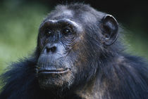 Tanzania, Gombe Stream National Park, Female chimpanzee. by Danita Delimont