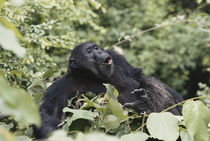Tanzania, Gombe Stream National Park, Male chimpanzee sitting on tree. by Danita Delimont