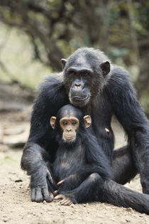 Tanzania, Gombe Stream National Park, Mother Chimp and her c... by Danita Delimont