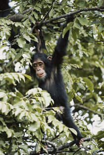 Tanzania, Gombe Stream National Park, Young Chimpanzee hangi... by Danita Delimont