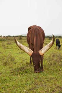 Ankolerind in Uganda by Danita Delimont