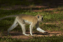 Vervet monkey, Victoria Falls, Zimbabwe, Africa by Danita Delimont
