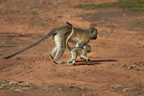 Vervet monkey and baby, Victoria Falls, Zimbabwe, Africa by Danita Delimont