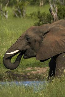 Elephant drinking, Hwange National Park, Zimbabwe, Africa von Danita Delimont