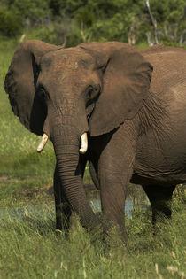 Elephant, Hwange National Park, Zimbabwe, Africa von Danita Delimont