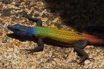Common flat lizard, on Malindidzimu, or 'World's View', Mato... von Danita Delimont