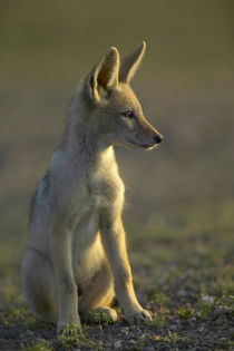 Blackbacked Jackal pup in veld, Mashatu Game Reserve, Northe... by Danita Delimont