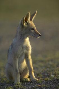 Blackbacked Jackal pup in veld, Mashatu Game Reserve, Northe... von Danita Delimont