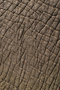 Elephant skin, Zimbabwe by Danita Delimont