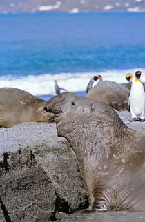 Southern Elephant Seal bull waiting for his chance to mate, ... von Danita Delimont