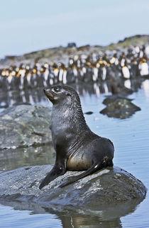 Kerguelen Fur Seal, Antarctic Fur Seal, Arctocephalus gazella by Danita Delimont