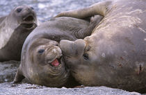 Southern Elephant Seal bull and cow mating, portrait, bull i... by Danita Delimont