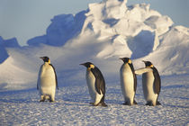 Antarctica, Emperor Penguins walking on landscape by Danita Delimont