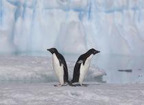 Adelie Penguin by Danita Delimont