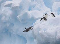 Adelie Penguin von Danita Delimont