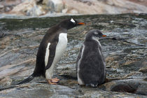 Petermann Island. Gentoo penguin parent and chick. by Danita Delimont
