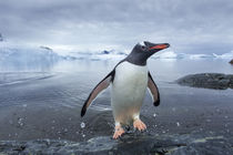 Gentoo Penguin, Cuverville Island, Antarctica von Danita Delimont